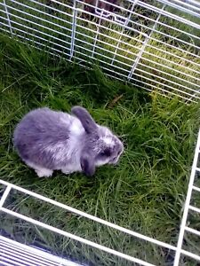 Baby Mini Lop Bunnies 🐰 ready to go now 🐰 ONLY 1 LEFT!