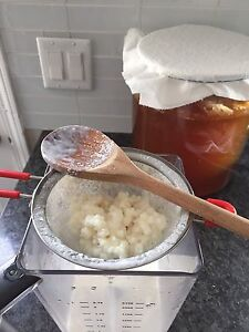 Milk kefir grains and Kombucha SCOBYs