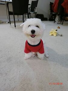 Not available for now!Small Bichon Frise for Rehoming London Ontario image 4
