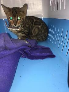 Bengal kitten Sandringham Rockdale Area Preview