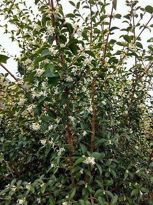 Tea Olive - Fragrant flowering Shrub -  Beautiful Spring Show - 10 - Fragrant Tea Olive
