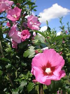 Hibiscus syriacus Pink Giant - Rose Mallow, Grafted, Plant in 2.5L Pot