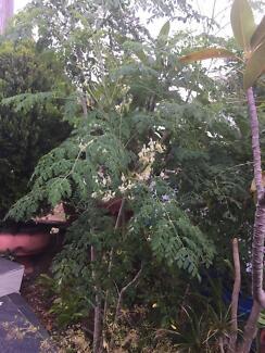 moringa tree or drum stick tree