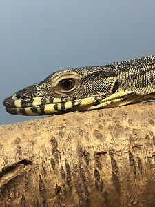Lace monitor Woodcroft Morphett Vale Area Preview