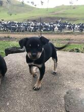 Pure kelpie pups Candelo Bega Valley Preview