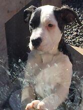 Puppy for sale Macgregor Belconnen Area Preview