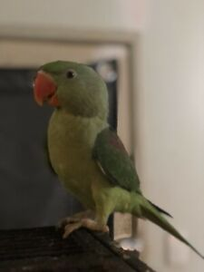 Female alexandrine