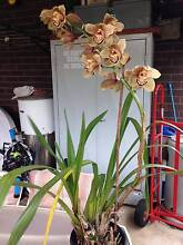 BROWN CYMBIDIUM ORCHID Oakleigh Monash Area Preview