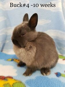 Pure Netherland Dwarf bunny rabbits!!! ALL SOLD