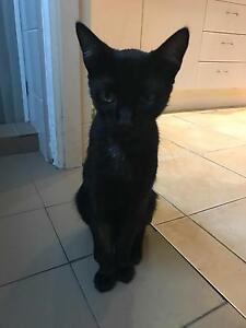 FREE TO GOOD HOME 10 month old male desexed cat Coffs Harbour Coffs Harbour City Preview
