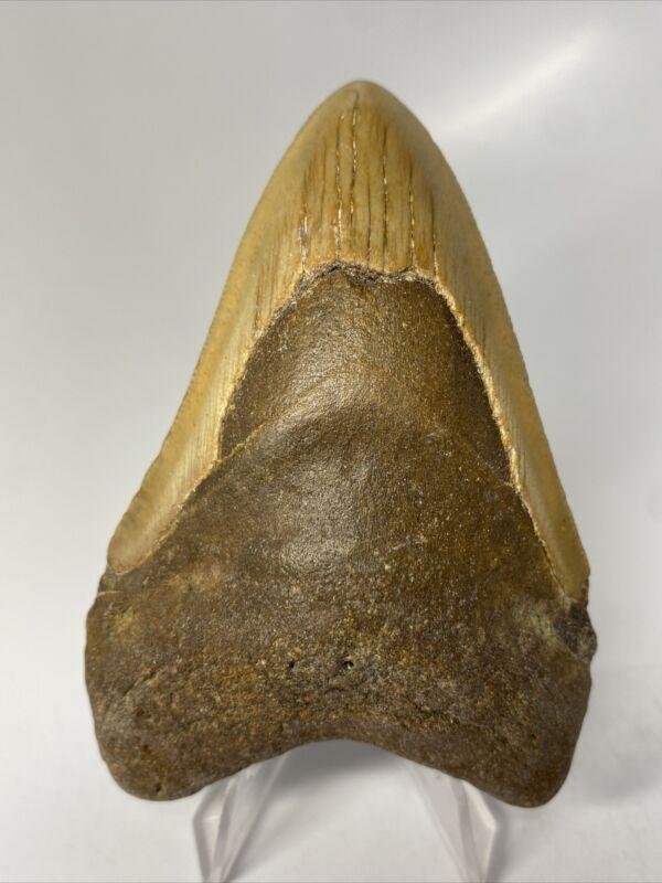 "Megalodon Shark Tooth 3.96"" Natural - Real Fossil - Carolina 9980"