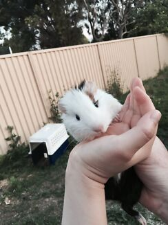 Harry Potter guinea pig West Ryde Ryde Area Preview