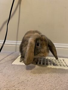 Free male holland lop bunny