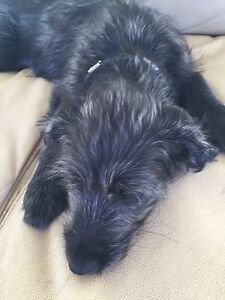 Labradoodle price reduced
