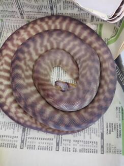 Woma pythons pair
