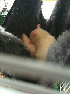 Beautiful champagne hooded female Rat *Patch* - Rehome Manly Manly Area Preview