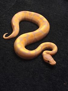 Ball Pythons for sale ! Prices are OBO