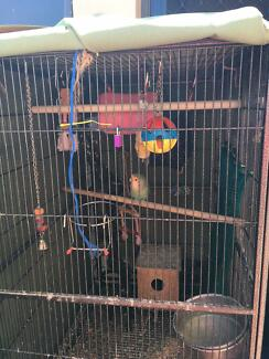 6  love birds and cage