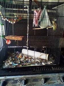 Young black male rat and cage etc $50 Nollamara Stirling Area Preview