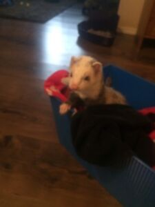 Ferrets for sale to good home