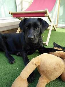 11 Month old black LABRADOR puppy looking for a new home West Ryde Ryde Area Preview