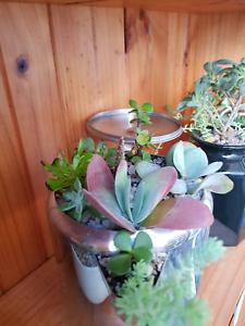 🐉🌾Tea Pot succulents  & more 🐝🌻 Girraween Parramatta Area Preview