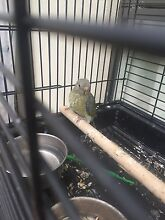 Found female grass parrot Williamstown Barossa Area Preview