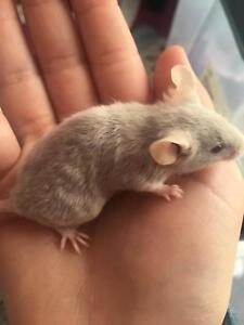 Beautiful Baby Mice $10 Lutana Glenorchy Area Preview