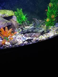 Bristlenose Catfish - Free to good home 30/01/18 - 05/02/18