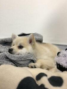 Gorgeous Pomsky Puppy Kingston South Canberra Preview