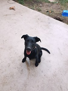 6 month old male kelpie x pup for sale $300 Dunlop Belconnen Area Preview