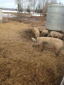 Butcher pigs and replacement gilts