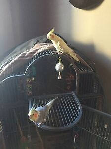 2 cockatiels. And cage 400 firm