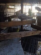 Budgies for sale Lakesland Wollondilly Area Preview