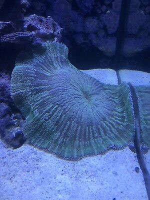 BEAUTIFUL GREEN Carpet Anemone XL HEALTHY FOR CLOWN FISH 10-12