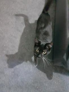 Kitten / cat 8 months old