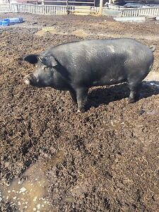 Butcher and Feeder pigs.