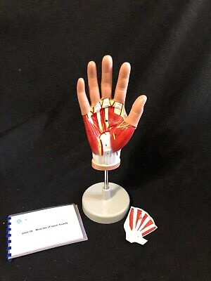 Altay Dissectible Hand Muscle Tendons Anatomical Model Anatomy