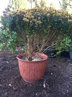 Healthy well established potted box hedge