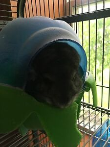 Chinchilla for sale