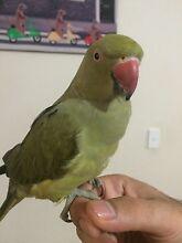 Tamed Indian Ringneck parrot bird Parramatta Parramatta Area Preview