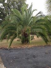 3 large Palm trees $4400 Inverell Inverell Area Preview