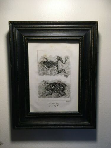 1805 Framed Antique Copperplate Engraving,Bull Frog,Pipal with Babies, Amazing!!