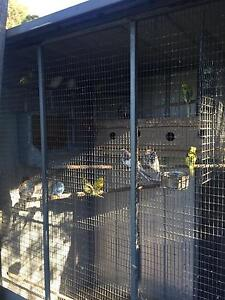 Budgies for sale Cranbourne Casey Area Preview