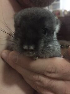 Chinchilla babe for sale . Two months old