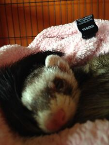 One amazing ferret for sale serious inquires only