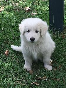 Pure  Bred Female Maremma puppy for sale Stockleigh Logan Area Preview