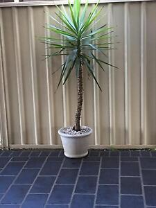 Pot and plant Glendenning Blacktown Area Preview