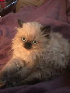 MALE RAGDOLL KITTEN FOR SALE