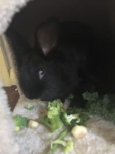 2xblack male rabbits   4 sale & cage Tweed Heads Tweed Heads Area Preview